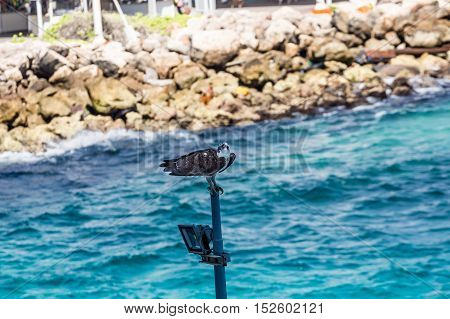 A black Hawk by Water on Curacao