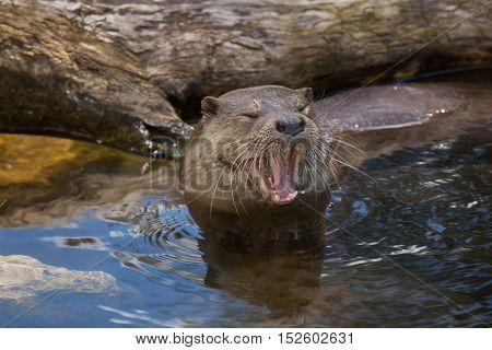 Eurasian otter (Lutra lutra lutra), also known as the common otter. Wildlife animal.