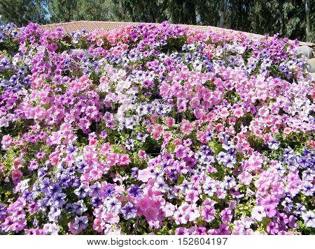 Petunia flowers in park of Ramat Gan Israel October 6 2010