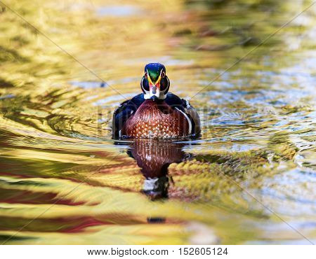 Wood duck male or Carolina duck is a species of perching duck found in North America. It is one of the most colorful North American waterfowl. Swimming in a lake ablaze with the colors of fall.