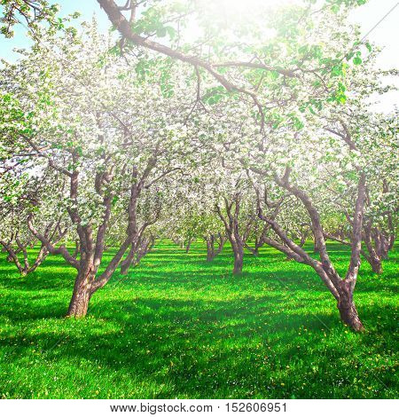 Beauty fresh blooming of decorative white apple, fruit young peach trees over bright blue sky in color vivid spring park full of leaf, pink flowers, green grass in dawn early light with first sun rays