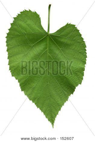 Leaf Of American Linden Tree
