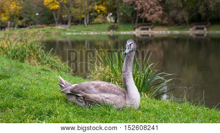 Swan lying on the grass near the pond.