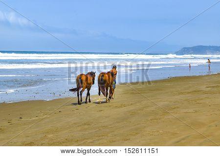 SANTA ELENA, ECUADOR, OCTOBER - 2015 - Man walking at beach with two brown horses at Olon beach Santa Elena Ecuador