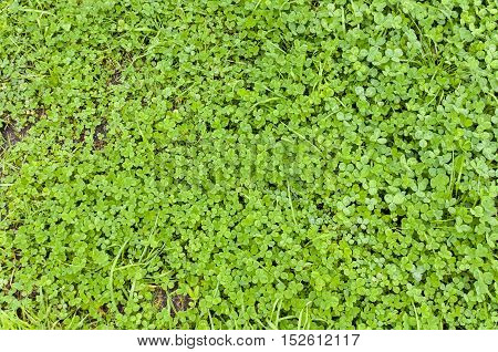 Natural background of green lawn with clover