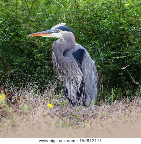 Great Blue Heron Standing in the Grass