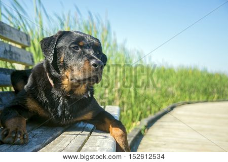 Young male rottweiler sitting outdoors with attentive expression