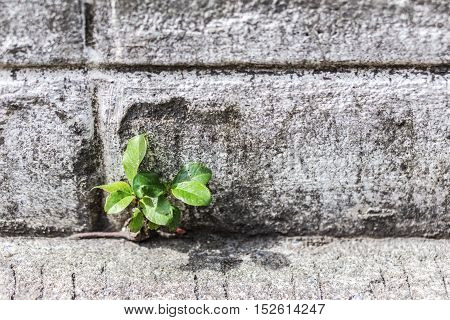 Young Tree Sapling Sprouting From Concrete Wall.
