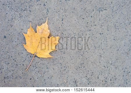 Picture of a yellow maple leaf fallen on the ground