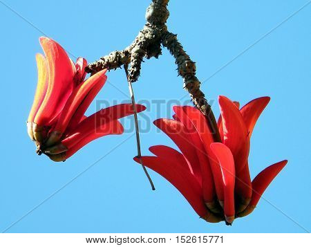 The Coral Tree flower in Wolfson Park of Ramat Gan Israel March 15 2011