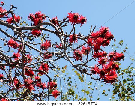The Coral Tree flowers in Wolfson Park of Ramat Gan Israel March 3 2011