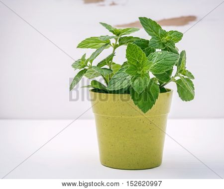 Fresh Peppermint Potted On White Shabby Wooden Background. Peppermint  Planted In Pots.