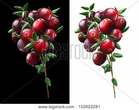 Cranberry bouquet (Vaccinium oxycoccus) on black, clipping paths