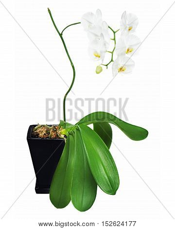 White orchid in black flowerpot isolated on white background. Closeup.