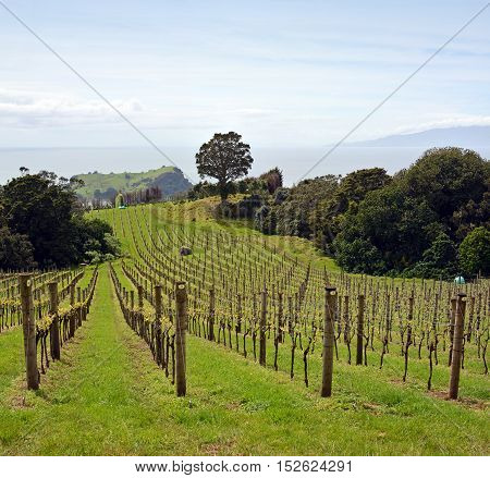 Vineyard vertical panoramic view at Stony Batter on Waiheke Island Auckland New Zealand