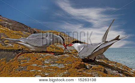 Arctic Tern With Food For Its Mate