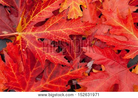 Autumn colorful fallen maple leaves stack red