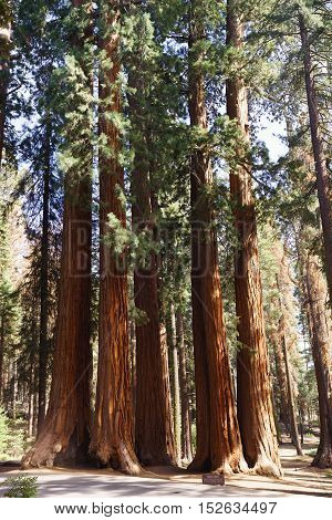 Parker Group Trees in Sequoia National Park