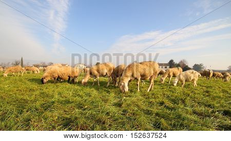 Flock With Many Sheep Grazing