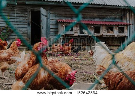Life in the henhouse. Hens and roosters in the henhouse photo