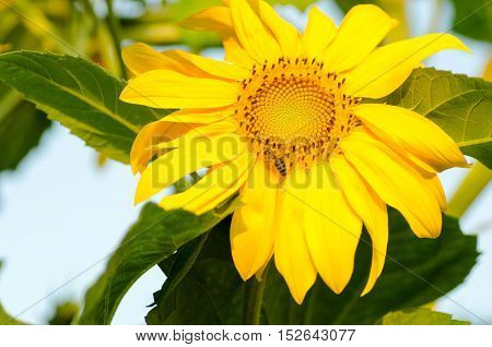 Beautiful yellow sunflower with little bee on it.