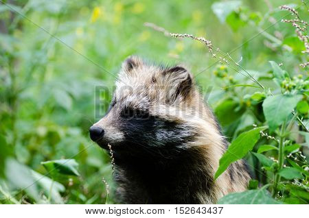 Cute portrait of raccoon dog sitting in grass.