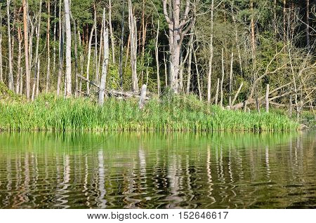 Flooded beach with dry pine forest and green grass reflected in the river.