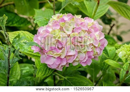 Beautiful pink and yellow hydrangea flower in a garden with raindrops on the petals