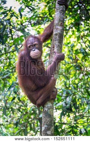A thoughtful orang utan is seen on a tree in tropical rainforest