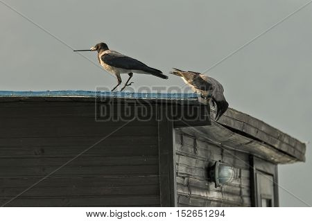 Two crows on building roof on sunny day