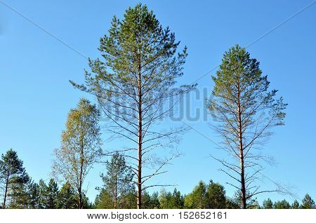Natural background. The trunks of the pine trees with a dry bottom. Coniferous forest in Belarus in autumn.