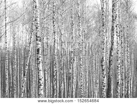 birch forest, black and white photo, autumn landscape