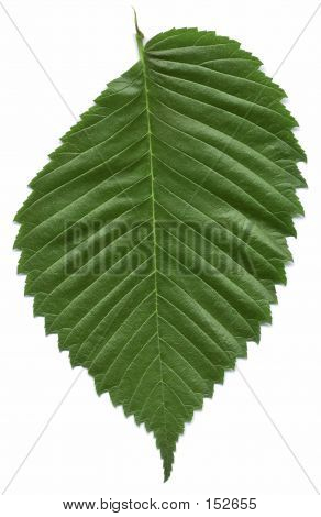 American Elm Tree Leaf http://www.bigstockphoto.com/image-152655/stock-photo-leaf-of-the-american-elm-tree