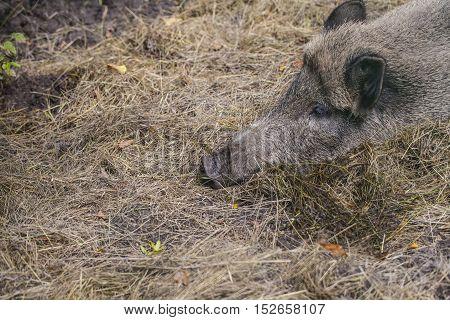 boar lying in  Bialowieza National Park Poland