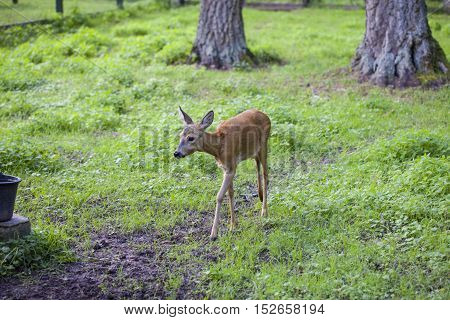 Small Fawn Goes Path In, Bialowieza National Park