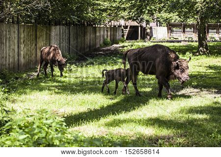 Small Bison Follows His Mother In The Bialowieza National Park