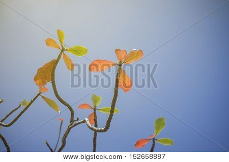 Autumn red leave with blue sky background.light effect added.nature color picture style.selective focus