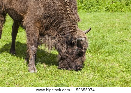 Large Bison Eats His Meal In The Bialowieza National Park