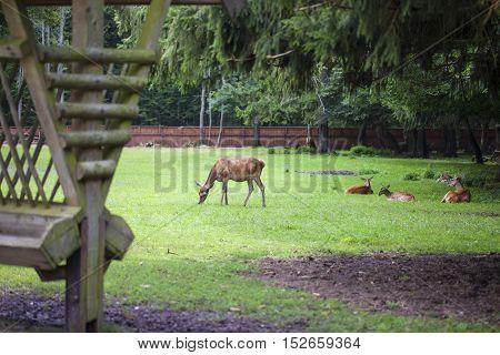 herd of deer on the runway, Bialowieza Nationale Park Poland