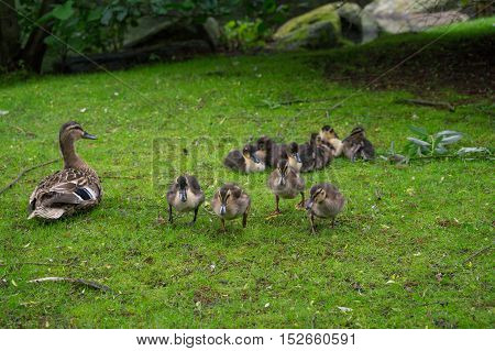 Close up of little baby ducks. Baby ducks at the lake