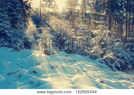 Snow covered pine trees in the rays of the setting sun. Toned image.