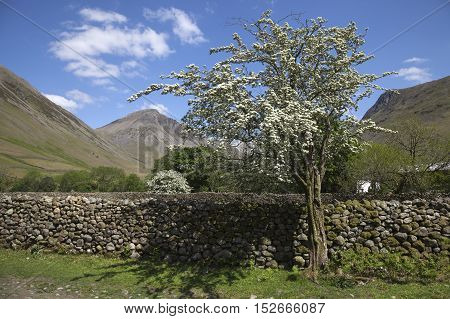 Hawthorn Tree, Wasdale Head, Wast Water, Lake District, Cumbria, England