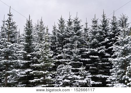 White fluffy snow on fur-trees on a cloudy day