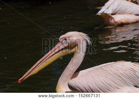 Close up of a pilican with a fish in its beak