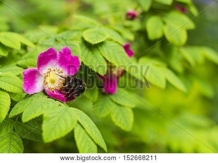 Bumblebee on wild rose. Pink Rosa Rubrifolia flower
