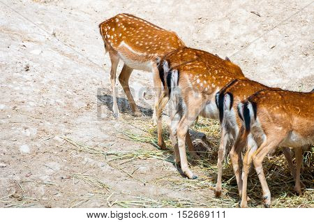 Numerous Spotted Deers comfortably having a meal in Safari Park in Costa Blanca Spain
