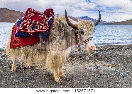 White Yak beside Pangong Lake (Pangong Tso)Leh Ladakh India.