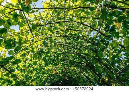 Walkway Covered By Green Leaves