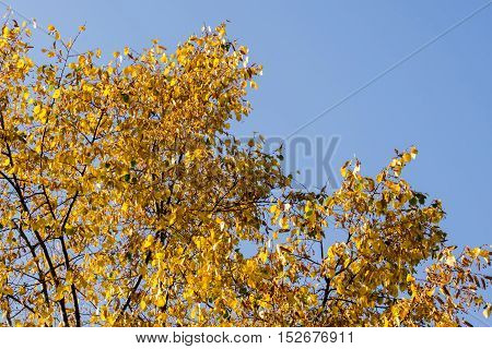 Yellow Leaves On Tree Top