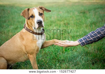 Dog giving paw. Staffordshire terrier mixed breed dog sitting on green lawn and giving paw to human.